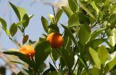 Waarom verliest een Citrus Tree bladeren