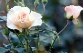 Welke maand transplantatie van een roos in Zuid-Carolina?