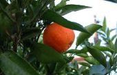 Hoe Plant een Mandarijn-zaad