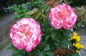 De beste tijd om te planten een Rose Bush