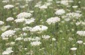 Het behouden van Queen Anne's Lace bloemen voor verse boeketten