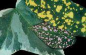 Groenblijvende struik met gele vlekken