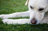Hoe te behandelen een irritatie van de huid op een Labrador Retriever