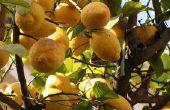 Op welke leeftijd begint een een Citrus boom om vruchten te produceren?