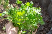 How to Grow koriander