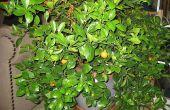 How to Propagate and Grow een Calamondin Citrus binnenshuis