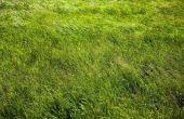 Kunt u Saint Augustine gras uit zaad kweken?
