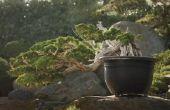 Hoe aan Bonsai een ceder boom