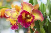 Hoe de zorg voor een Cattleya orchidee