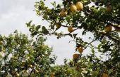 Hoe te snoeien van een boom van de citroen in Californië