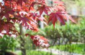 Hoe Plant een Bloodgood Japanse esdoorn