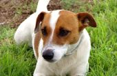 Soorten honden die opschieten met Jack Russel Terriër