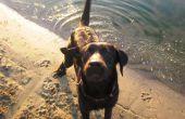 Wat doet kanker Look Like bij honden?