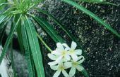 Kleine gele insecten in Oleander