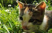 Uitgebreide maag voering in een kat