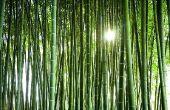 Kan bamboe Regrow uit stekken?