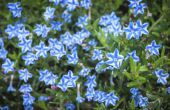 How to Grow Lithodora Diffusa bloemen