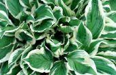 Van aanplant te verschijnen, hoe lang voor een Hosta Knol aan Sprout?