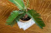 Hoe de zorg voor een Sago Palm