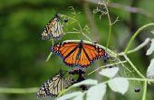 Hoe herken ik het verschil tussen een Monarch & een onderkoning vlinder