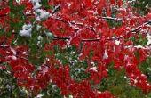 Wanneer een rode esdoorn-boom bloeien?