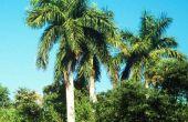 Royal Palm Tree feiten
