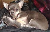 Chihuahuas & kinderen met astma