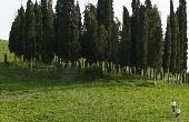 Wanneer te planten Italiaanse cipres