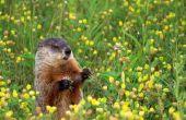Wat eten Baby Groundhogs?