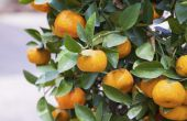 Wanneer zijn Clementines in het seizoen?