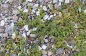Het gebruik van bleekwater te doden van onkruid in grind opritten