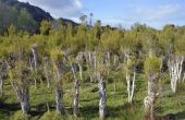 Hoe groeien Australische thee bomen (Leptospermum laevigatum)