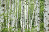 Lijst van breedbladige bomen