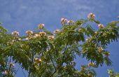 Mimosa Plant feiten