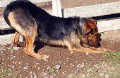 How to Prevent Ringworm bij honden