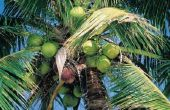 Wat Is het klimaat voor de kokosnoot boom?