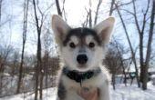 Waarom Is mijn Siberische Husky Puppy bijten & happen?