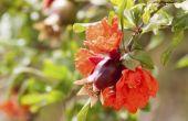 Wanneer granaatappel bomen bloeien?