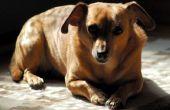 Symptomen aan horloge voor nadat een hond heeft gegeten een rots