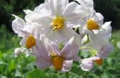 Feiten over Peru inheemse bloemen
