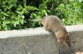 De nadelen van een Rat-Killer