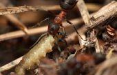 Hoe te vangen een brand mier koningin