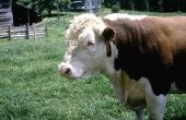 Hoe te voeden pinda's op vee