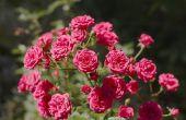 Verschillende soorten Rose struiken