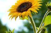 Hoe lang gaat een gesneden zonnebloem Last?