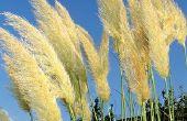 Het behouden van Pampas gras bloemen voor het verfraaien
