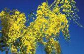 Hoe om te groeien van een boom van de regen uit zaden