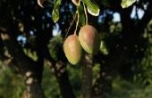 Soorten mangobomen