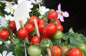 De beste meststoffen tomatenplanten groeien