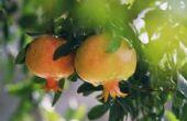 Wat Is de vroegste rijpen granaatappel?